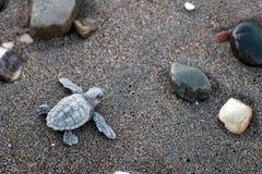 De babyschildpadden van Carettacaretta vroeg in de ochtend stock fotografie