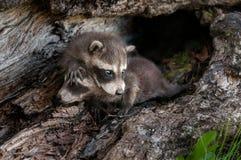 De babywasbeer (Procyon-lotor) beklimt over Sibling Royalty-vrije Stock Fotografie