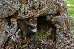 De babywasbeer (Procyon-lotor) gluurt uit Logboek Stock Afbeeldingen