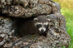 De babywasbeer (Procyon-lotor) kijkt uit Logboek Royalty-vrije Stock Fotografie