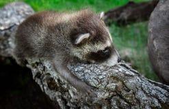 De babywasbeer (Procyon-lotor) klampt zich aan Logboek vast Stock Foto