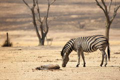 De babyzebra sterft in Zuid-Afrika Royalty-vrije Stock Fotografie