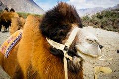 De Bactrian kamlen för dubbel knöl Royaltyfri Fotografi