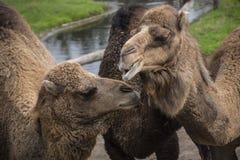 De Bactrische kameel, Camelus-bactrianus is groot, gelijk-toed ungulate inwoner aan de steppen van Centraal-Azië stock foto's