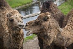 De Bactrische kameel, Camelus-bactrianus is groot, gelijk-toed ungulate inwoner aan de steppen van Centraal-Azië stock afbeelding
