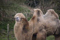 De Bactrische kameel, Camelus-bactrianus is groot, gelijk-toed ungulate inwoner aan de steppen van Centraal-Azië stock fotografie