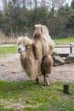 De Bactrische kameel, Camelus-bactrianus is groot, gelijk-toed ungulate inwoner aan de steppen van Centraal-Azië stock foto