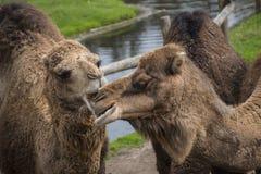 De Bactrische kameel, Camelus-bactrianus is groot, gelijk-toed ungulate inwoner aan de steppen van Centraal-Azi? stock afbeeldingen