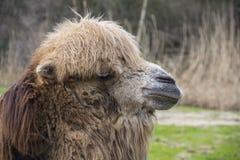 De Bactrische kameel, Camelus-bactrianus is groot, gelijk-toed ungulate inwoner aan de steppen van Centraal-Azi? royalty-vrije stock foto's