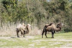 De Bactrische kameel, Camelus-bactrianus is groot, gelijk-toed ungulate inwoner aan de steppen van Centraal-Azi? stock foto's