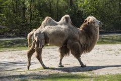 De Bactrische kameel, Camelus-bactrianus is groot, gelijk-toed ungulate inwoner aan de steppen van Centraal-Azi? royalty-vrije stock afbeelding