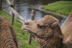 De Bactrische kameel, Camelus-bactrianus is groot, gelijk-toed ungulate inwoner aan de steppen van Centraal-Azi royalty-vrije stock foto's