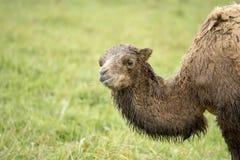 De Bactrische kameel van de baby Royalty-vrije Stock Foto's