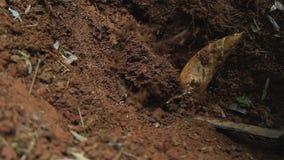 De bamboespruit in de bosaard is grondstof aan kok het sierlijke voedsel groeien in berg stock foto's