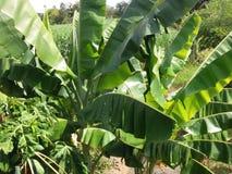 De banaan doorbladert Stock Afbeeldingen