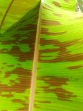 De banaan leavesheeft een brede waaier van toepassingen royalty-vrije stock foto's