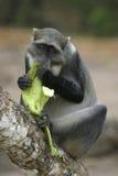 De Banaan van de aap Royalty-vrije Stock Afbeelding
