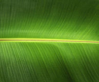 De banaan verlaat groene achtergrond Stock Afbeelding