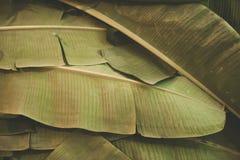 De banaan verlaat patroonachtergrond | Natuurlijk close-upmilieu Royalty-vrije Stock Afbeeldingen