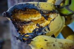 De banaan werd vernietigd door de vogel stock foto's
