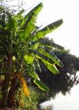 De banaanboom groeit dichtbij riverbank in platteland Stock Foto