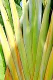 De banaanweegbree met regelmatige rijen van aders stock afbeeldingen