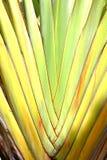 De banaanweegbree met regelmatige rijen van aders stock fotografie