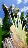 De banaanweegbree met regelmatige rijen van aders royalty-vrije stock foto