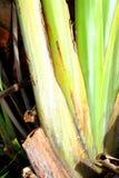 De banaanweegbree met regelmatige rijen van aders stock foto's
