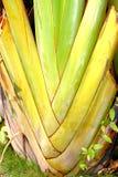 De banaanweegbree met regelmatige rijen van aders stock afbeelding