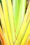 De banaanweegbree met regelmatige rijen van aders royalty-vrije stock afbeeldingen