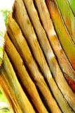 De banaanweegbree met regelmatige rijen van aders royalty-vrije stock afbeelding
