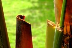 De banaanweegbree met regelmatige rijen van aders stock foto