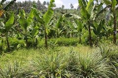 De bananen in het hoogland undercropped door citroengrassen royalty-vrije stock foto's