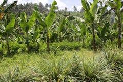 De bananen in het hoogland undercropped door citroengrassen Stock Afbeelding