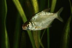De Band van zoet watervissen, Abramis-brama royalty-vrije stock foto