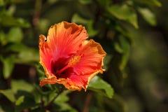 De bandkleurstof kleurde de bloei van de hibiscusbloem royalty-vrije stock afbeeldingen