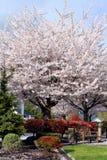 De bank en een pruimboom in de lente komen tot bloei Royalty-vrije Stock Fotografie