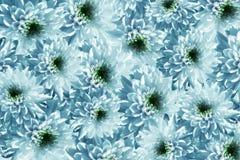 De Banner van bloemen Background De Chrysanten van het bloemen wit-turkoois Veel chrysanten met een groen centrum bloemencollage  royalty-vrije illustratie