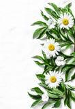De Banner van bloemen Background Verse tuinmadeliefjes op een lichte achtergrond, hoogste mening Vlak leg Royalty-vrije Stock Foto