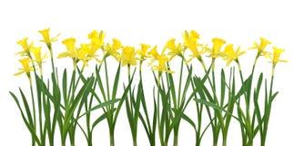 De banner van de gele narcis Royalty-vrije Stock Fotografie