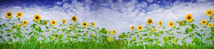 De banner van de zonnebloem stock foto's