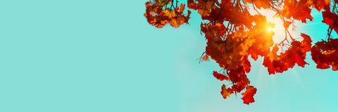 3:1 de banni?re Lames color?es d'?rable d'automne Ciel et lumière du soleil par les branches d'arbre d'automne de dessous Fond de images stock
