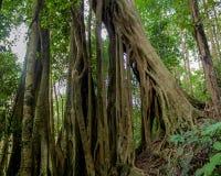 De banyan wortels van de wildernis bosboom in tropisch regenwoud royalty-vrije stock afbeelding