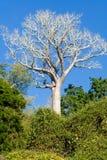 De Baobab van Madagascar stock afbeelding