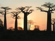 De Baobabs van Grandidiers Stock Afbeelding
