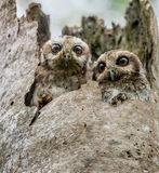 De barbent owl- eller kubanScreechowlsna (den Gymnoglaux lawrenciien) på ett rede på en tree Arkivbild