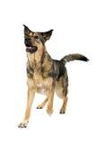 De bastaarde hond van de Duitse herder Stock Afbeeldingen