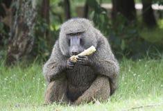 De baviaan die van de olijf graan eet. royalty-vrije stock foto