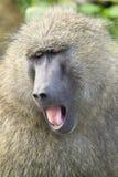 De baviaan van de geeuw Stock Afbeeldingen
